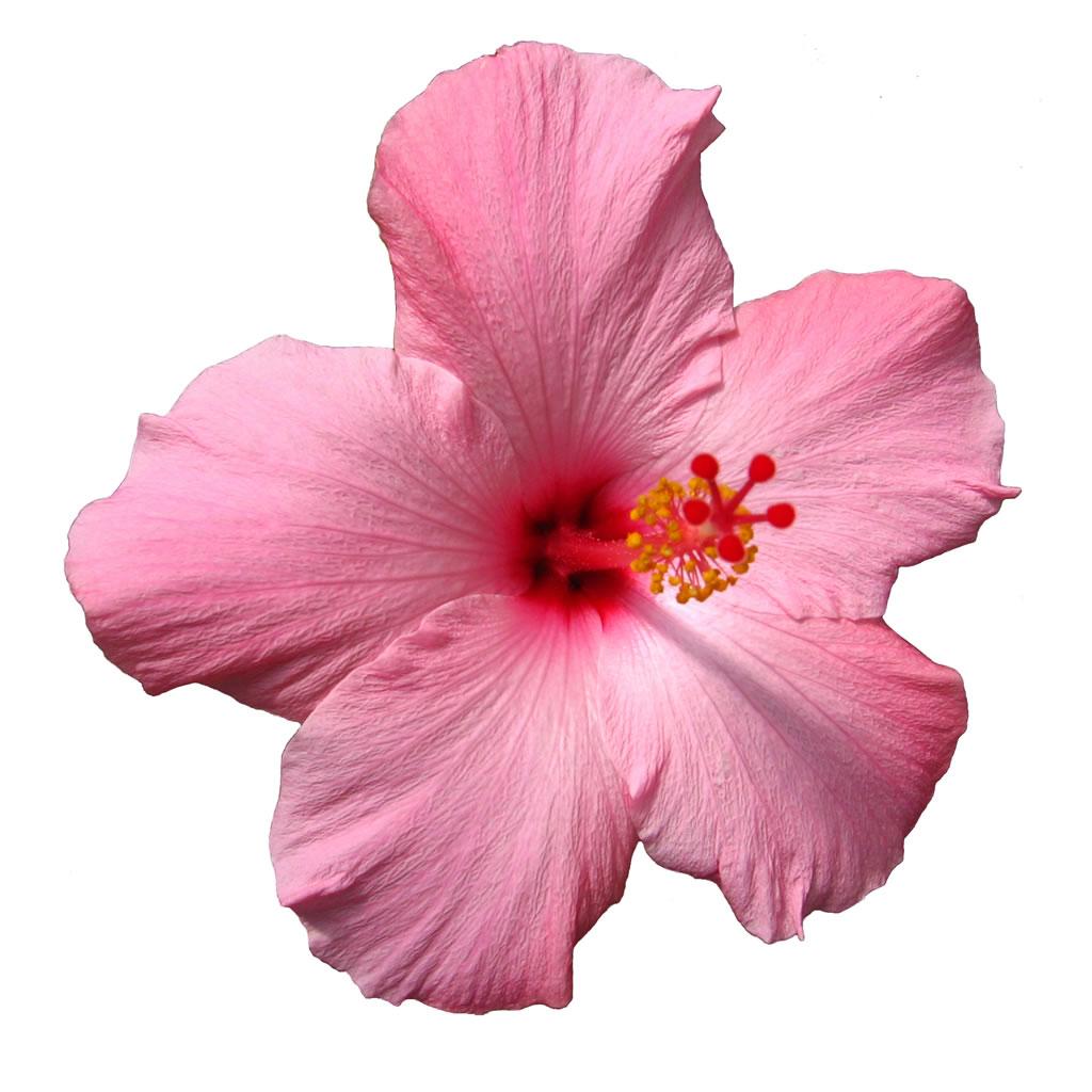 Oahure hawaii flowers hawaii flowers izmirmasajfo Choice Image